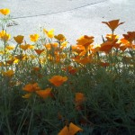 Summer flowers around the house, Wanganui