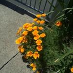 Summer flowers loitering at the gate, Wanganui