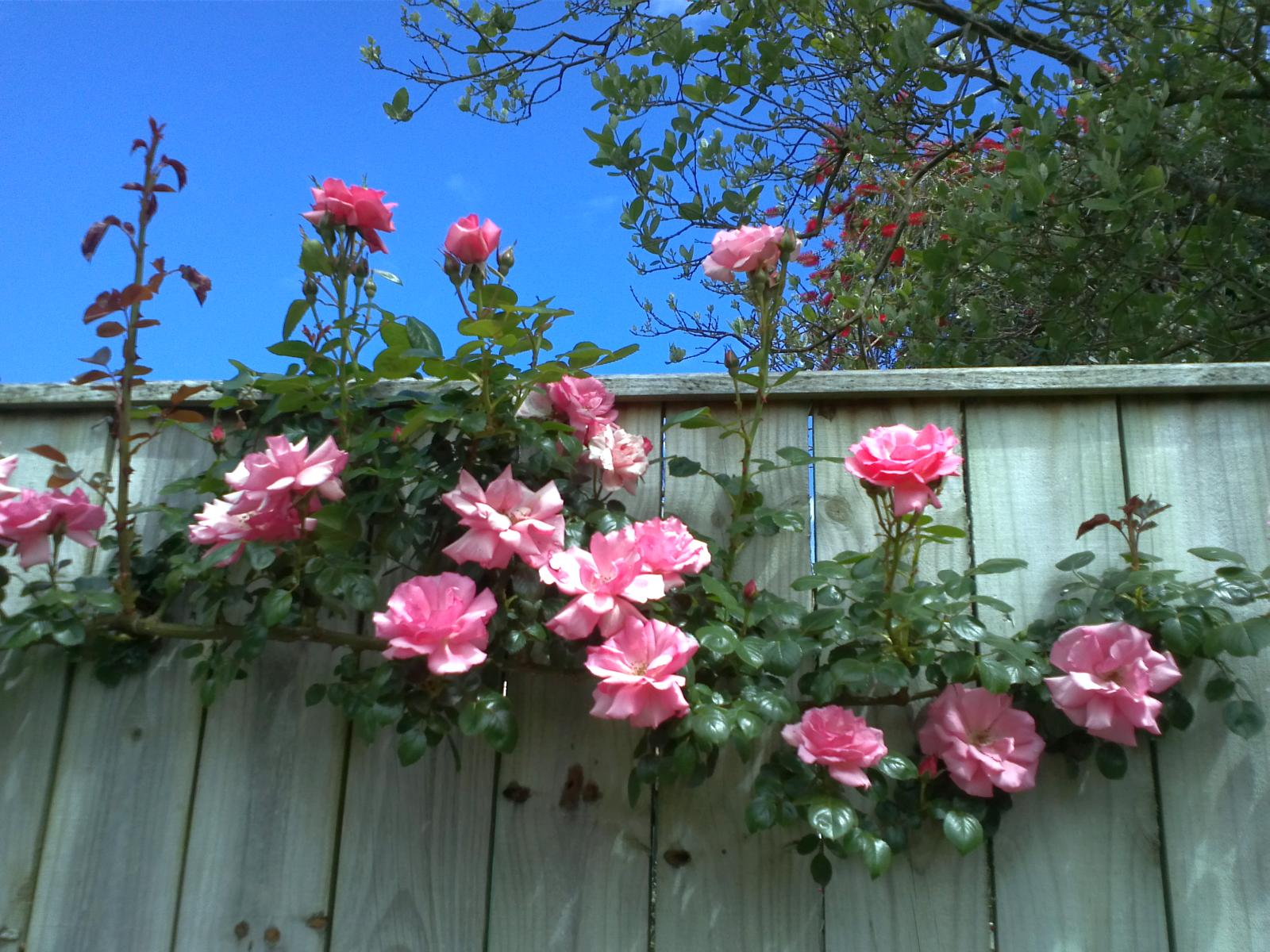 Roses on a fence in the Bason Botanical Reserve