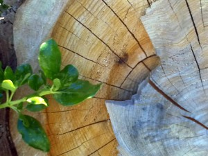 Tree stump at Westmere Lake