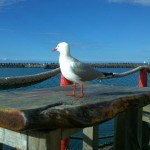 New Plymouth seagull